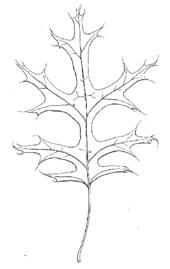 Dessin d'une feuille de Quercus coccinea (ou Chêne écarlate) par Thoreau.