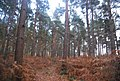 Autumnal coloured bracken, Broadwater Forest - geograph.org.uk - 1589483.jpg