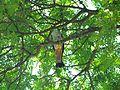 Aviceda subcristata -Darwin, Northern Territory, Australia-8.jpg