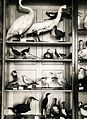 Az Érseki Főgimnázium állattani gyűjteménye. Fortepan 100192.jpg