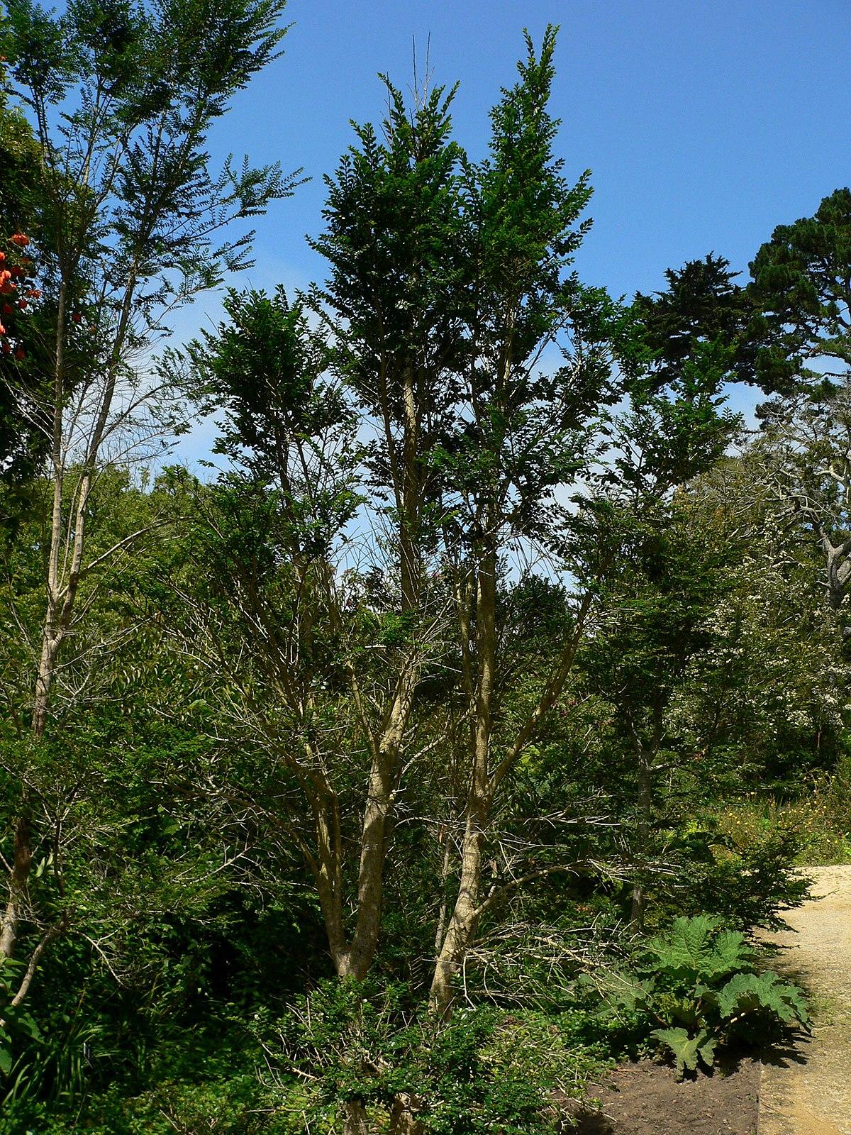 Azara Microphylla Wikipedia