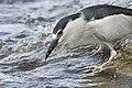 BDT2106 1. black crowned heron.jpg