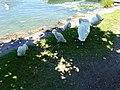 Baby swan @ Lake Annecy @ Port de Saint-Jorioz (50487103553).jpg