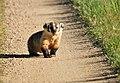 Badger on Seedskadee National Wildlife Refuge (27429246622).jpg