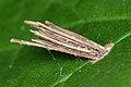 Bagworm Moth (Psychidae) Case - Kitchener, Ontario 01.jpg
