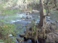 Bald-Cypress bole and knees (5622005209).png