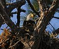 Bald Eagle in New Smyrna Beach - Flickr - Andrea Westmoreland.jpg