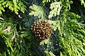 Ball of spiderlings (Araneus diadematus) (14206953319).jpg