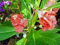 Balsam flowers 6.JPG