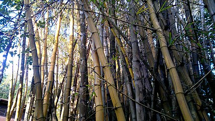 Bamboo123