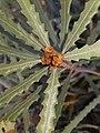 BanksiaPilostylis PerthBG-20171218-2.jpg