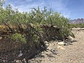 Bankside vegetation at Red Rock Wash in the Red Rock Canyon NCA.jpg