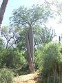 Baobab detto degli innamorati Reniala.JPG