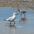 Bar-tailed godwit and Silver gull tidal strand Sandgate Bramble Bay Queensland P1090377.jpg