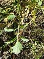 Barbarea vulgaris sl9.jpg