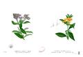 Barleria spp Blanco1.214.png