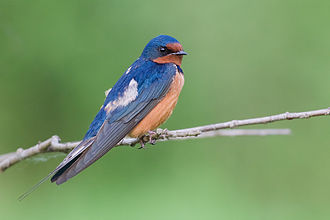 Barn swallow - H. r. erythrogaster in Washington State, US