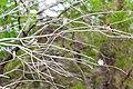 Barn swallows (19546446109).jpg
