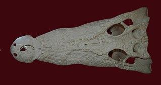 <i>Baru</i> genus of reptiles