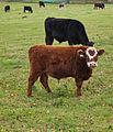 Basildon Park Cows (6319857055).jpg