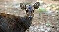 Bawean Deer (Axis kuhlii).jpg