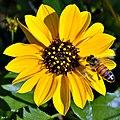 Beach Sunflower (Helianthus debilis) (6481091801).jpg