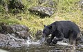 Bear stalks Chum 177.jpg