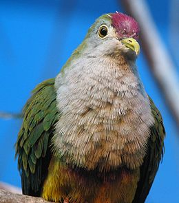 Beautiful Fruit Dove Image 007.jpg