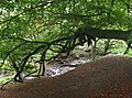 Beech bough - geograph.org.uk - 1540956.jpg