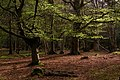 Beech trees in Mallard Wood, New Forest - geograph.org.uk - 779513.jpg
