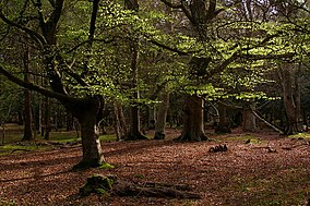 Beech Trees In Mallard Wood New Forest Geograph Org Uk 779513