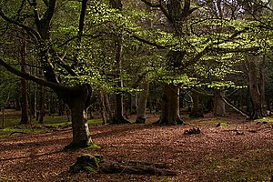 New Forest - Beech trees in Mallard Wood, part of the New Forest