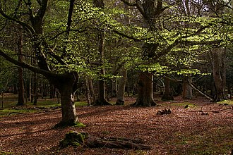 National park - Beech trees in Mallard Wood, New Forest National Park, Hampshire, England