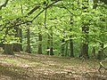 Beech wood, Fishpools Valley - geograph.org.uk - 1461572.jpg