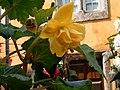 Begónia amarela.jpg
