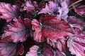 Begonia (17).jpg