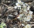 Begonia odorata Alba 1zz.jpg