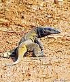 Bengal monitor (Varanus bengalensis) or common Indian monitor Lizard. (30926676563).jpg