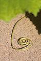 Benincasa pruriens in Guangfeng 2012.10.27 12-57-50.jpg