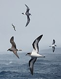 Bermuda Petrel From The Crossley ID Guide Eastern Birds.jpg