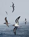 Bermuda Petrel From The Crossley ID Guide Eastern Birds.jpg