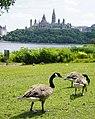 Bernaches du Canada 02.jpg