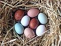 Best Egg laying Chicken Breeds.jpg