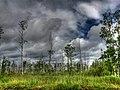 Birch - panoramio (5).jpg