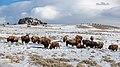 Bison on Blacktail Deer Plateau - Flickr - YellowstoneNPS.jpg