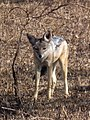 Black-backed Jackal Canis mesomelas in Tanzania 2759 Nevit.jpg