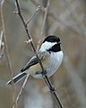 Black-capped Chickadee (Poecile atricapillus) - Cambridge, Ontario 02.jpg