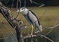 Black-crowned night Heron (38668113794).jpg