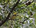 Black-throated Green Warbler (31333063808).jpg