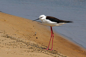 Black-winged stilt - H. h. meridionalis (South Africa)